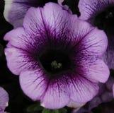 petunia arkivbilder