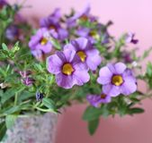petunia arkivfoto