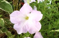 petunia Immagini Stock