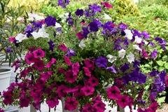 petunia Royalty-vrije Stock Fotografie