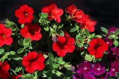 petunia immagine stock
