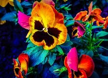 Petunia is a genus represented by semi-shrubs and herbaceous perennials. Petunia also called genus represented semi-shrubs herbaceous perennials royalty free stock photography
