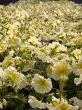 Petunia amarilla Fotos de archivo libres de regalías