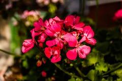 Petunia Axillaris Stock Photos
