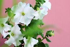 Petunia Axillaris flowers are also known as large white petunia on a pink background. Wild white petunia and petunia white moon royalty free stock photos