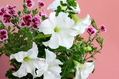 Petunia Axillaris flowers are also known as large white petunia on a pink background. Wild white petunia and petunia white moon royalty free stock images