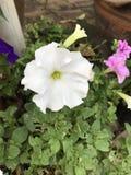 Petunia axillaris or Large white petunia or White moon petunia flower. Stock Photos