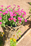 Petunia in bamboo weave pot. Blossom petunia flower in bamboo weave pot Stock Image