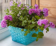 Petunia in a basket Royalty Free Stock Photography