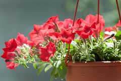 Petunia in basket Stock Photography