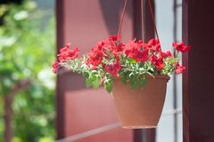 Petunia in basket Royalty Free Stock Photo