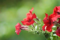 Petunia. Beautiful flower a petunia on a green background Stock Photo