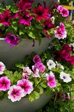 Petunia beds Stock Photography