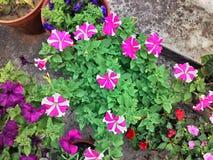 Petunia bi color Royalty Free Stock Photo