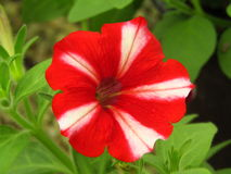 Petunia Bicolor. This is a variety of petunia which is blooming with its beautiful red color combined with white Royalty Free Stock Photo