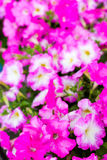 Petunia bielu menchii kwiaty w drewnianych odkładających barłogach puszkują Obraz Stock