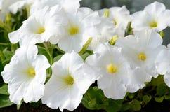 Petunia blanca Imágenes de archivo libres de regalías