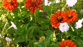 Petunia blanca y dalia roja almacen de video