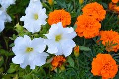 Petunia blanca y maravilla anaranjada Foto de archivo