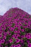 Petunia in bloem Royalty-vrije Stock Afbeeldingen