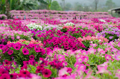 Petunia Blooming In Garden Stock Photos