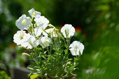 Petunia blooms in many colors. Tobacco and petunia are related plants. Colorful petunia flowers close up