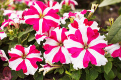Petunia blossom Stock Photos