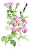 Petunia. Botanical watercolor illustration hand-drawing. Petunia pink. Botanical watercolor illustration stock illustration