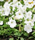 Petunia branco Fotos de Stock Royalty Free