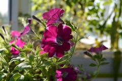 Petunia with bright flowers. Sunny day in small garden on the balcony.  royalty free stock photography