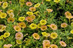 Petunia, Petunia, Cascadias Indian Summer, Bavaria, Germany, Europe stock photo