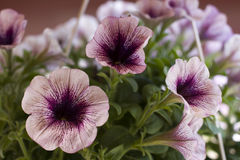 Petunia Royalty Free Stock Photography