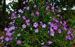 Petunia Cluster royalty free stock photography