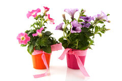 Petunia in colorful buckets with ribbon Stock Images