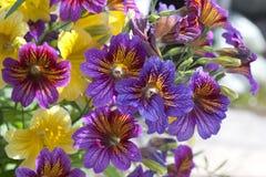 Petunia colorida Imágenes de archivo libres de regalías