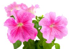 Petunia cor-de-rosa Imagens de Stock Royalty Free