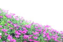 Petunia cor-de-rosa Imagem de Stock Royalty Free