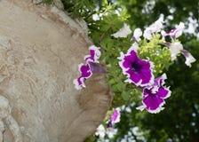 Petunia cor-de-rosa Fotografia de Stock Royalty Free