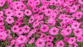 Petunia cor-de-rosa Foto de Stock