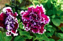 Petunia cremisi di Terry nel giardino fotografia stock libera da diritti