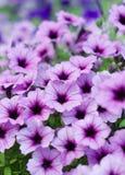 Petunia de achtergrond van Surfinia stock foto