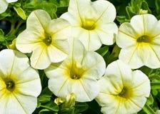 Petunia de arrasto amarelo Foto de Stock Royalty Free