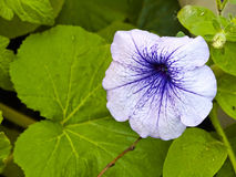 Petunia de la flor Fotografía de archivo