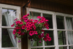 Petunia de las flores en cierre de la cesta de la caída encima de la foto Fotos de archivo libres de regalías