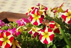 Petunia in de straat, close-up Stock Afbeelding