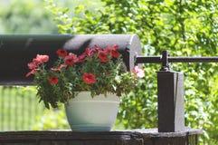Petunia in de tuin Royalty-vrije Stock Afbeelding