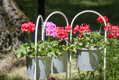 Petunia in de tuin Stock Afbeeldingen