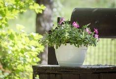 Petunia in de tuin Stock Foto