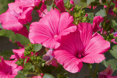Petunia del escarlata Imágenes de archivo libres de regalías