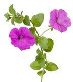 Petunia dell'isolato Fotografia Stock